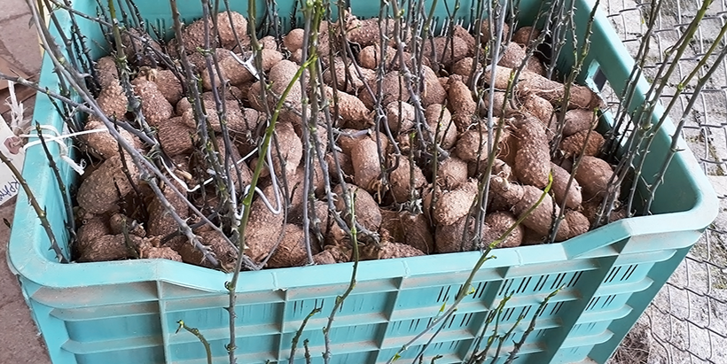 Yam seed sprouting